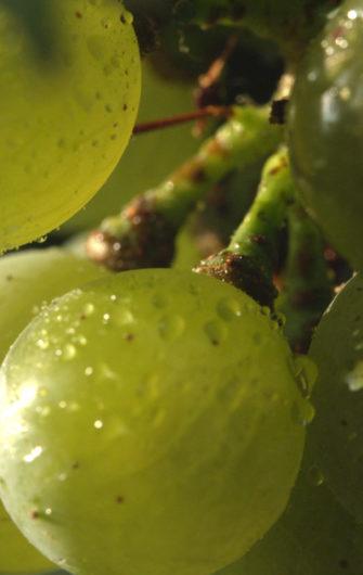 Arômes des vins et indices précurseurs dans les baies